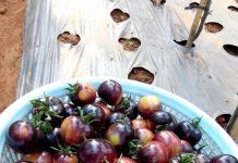 Khu vườn cà chua đen Đà Lạt